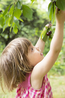Portrait of little girl picking cherries from the tree - LVF001675