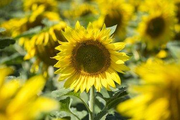 Sunflower field, Helianthus annuus, partial view - ELF001174