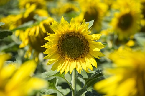 Sunflower field, Helianthus annuus, partial view - ELF001174