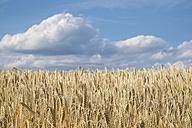 Barley field, Hordeum vulgare, in front of cloudy sky - ELF001176