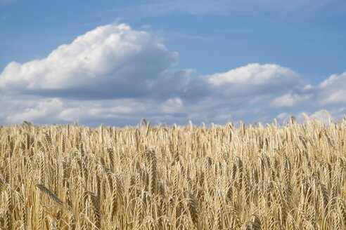 Barley field, Hordeum vulgare, in front of cloudy sky - ELF001176