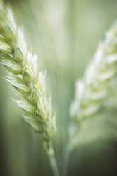 Spikes of wheat, Triticum aestivum, close-up - ELF001189