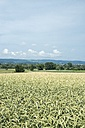 Germany,  Baden-Wuerttemberg, Constance district, landscape with wheat field, Triticum aestivum, in the foreground - ELF001192