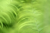 Germany, Fern leaves, Osmundaceae, close up - ELF001196