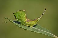 England, Puss Moth, Cerura vinula, Caterpillar - MJOF000572