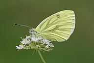England, Green-veined White, Pieris napi - MJOF000578