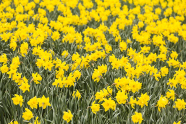 Field of daffodils, Narcissus pseudonarcissus - SRF000650