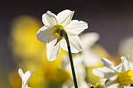 Daffodils, Narcissus, at sunlight - SRF000685