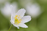 Wood anemone, Anemone Nemorosa - SRF000689