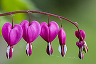 Germany, Lyre-flowers, Lamprocapnos spectabilis - SRF000691