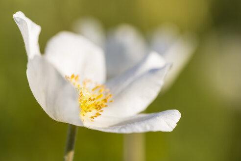 Blossom of snowdrop anemone, Anemone sylvestris - SRF000704