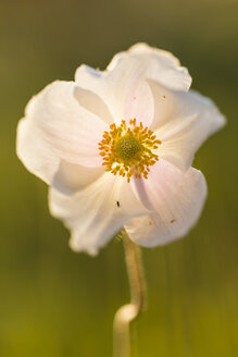 Blossom of snowdrop anemone, Anemone sylvestris, at sunlight - SRF000706