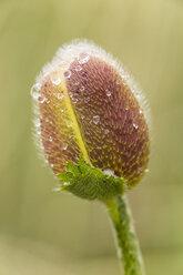 England, Oriental poppy, Papaver orientale, Blossom bud - SRF000710