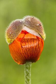 England, Oriental poppy, Papaver orientale, Blossom bud - SRF000717