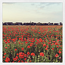 Corn poppies in field - GWF003052