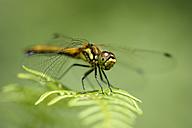 Black darter, Sympetrum danae, sitting on a leaf in front of green background - MJOF000586