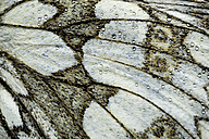 Detail of wing of Marbled White, Melanargia galathea - MJOF000590
