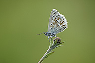 Chalkhill Blue, Polyommatus coridon, sitting on a bud in front of green background - MJO000592