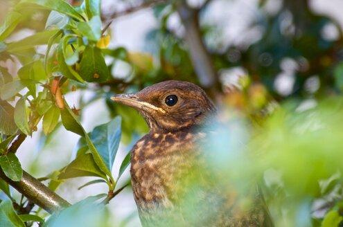 Germany, Hesse, Young blackbird, Turdus merula - MHF000326