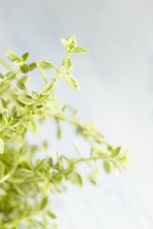 Lemon thyme, Thymus citriodorus - CHF000084