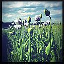 Austria, Waldviertel, poppies in field - DISF000897