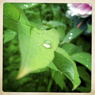Peony leaf - DISF000917