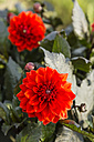 Blossoms and buds of red dahlias, Dahlia - SRF000676