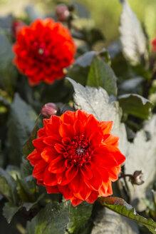 Blossoms and buds of red dahlias, Dahlia - SRF000676
