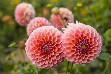 Blossoms of pink dahlia, Dahlia, in a garden - SRF000678