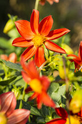 Blossoms of red orange dahlia, Dahlia, at sunlight - SRF000656