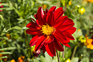 Blossom of red dahlia, Dahlia, at sunlight - SRF000659