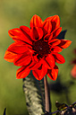Blossom of red dahlia, Dahlia, at sunlight - SRF000662