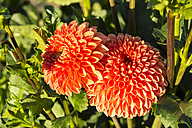Two blossoms of orange dahlia, Dahlia, at sunlight - SRF000665