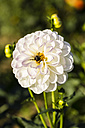 Bumble bee on white blossom of dahlia, Dahlia, at sunlight - SRF000667