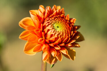 Blossom of orange dahlia, Dahlia, at sunlight - SRF000669