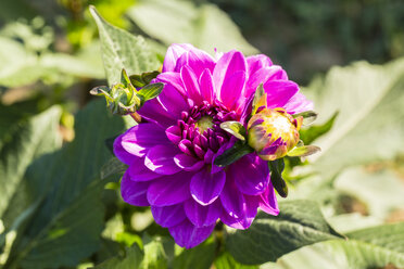 Blossom and bud of purple dahlia, Dahlia, at sunlight - SRF000672