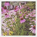 Purple Coneflowers - GWF003067