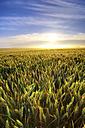 United Kingdom, Scotland, East Lothian, Wheat field, Triticum sativum, against the sun - SMAF000235