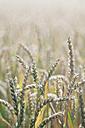 Germany, Baden-Wuerttemberg, Wheat field, Triticum aestivum - ELF001247
