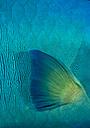 Oceania, Palau, Napoleon fish, Cheilinus undulatus, Fin, Close-up - JWAF000190