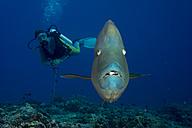 Oceania, Palau, Napoleon fish, Cheilinus undulatus and diver - JWA000192