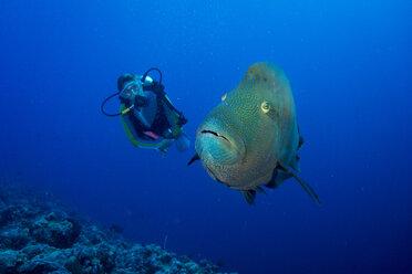 Oceania, Palau, Napoleon fish, Cheilinus undulatus and diver - JWAF000194