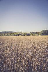 Wheat field, Triticum sativum, at evening twilight - LVF001706
