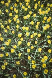 Netherlands, yellow tulips, Tulipa, in Keukenhof, view from above - FL000454