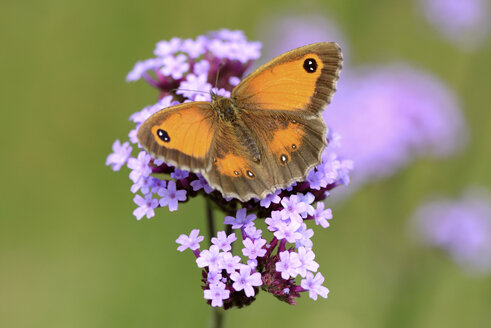 Gatekeeper, Pyronia tithonus, with sread wings - MJOF000598