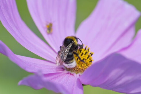 Bumble bee, Bombus, sitting on Mexican aster, Cosmea - YFF000207