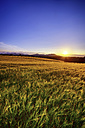 United Kingdom, Scotland, Midlothian, Barley field, Hordeum vulgare, at sunset - SMAF000238