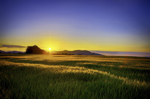 United Kingdom, Scotland, Midlothian, Barley field, Hordeum vulgare, at sunset - SMA000240