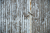 Weathered old wooden door with rusty chain and door handle - BSC000439