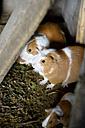 Peru, breeding of guinea pigs, Cavia porcellus form. domestica, on a farm - FLKF000407